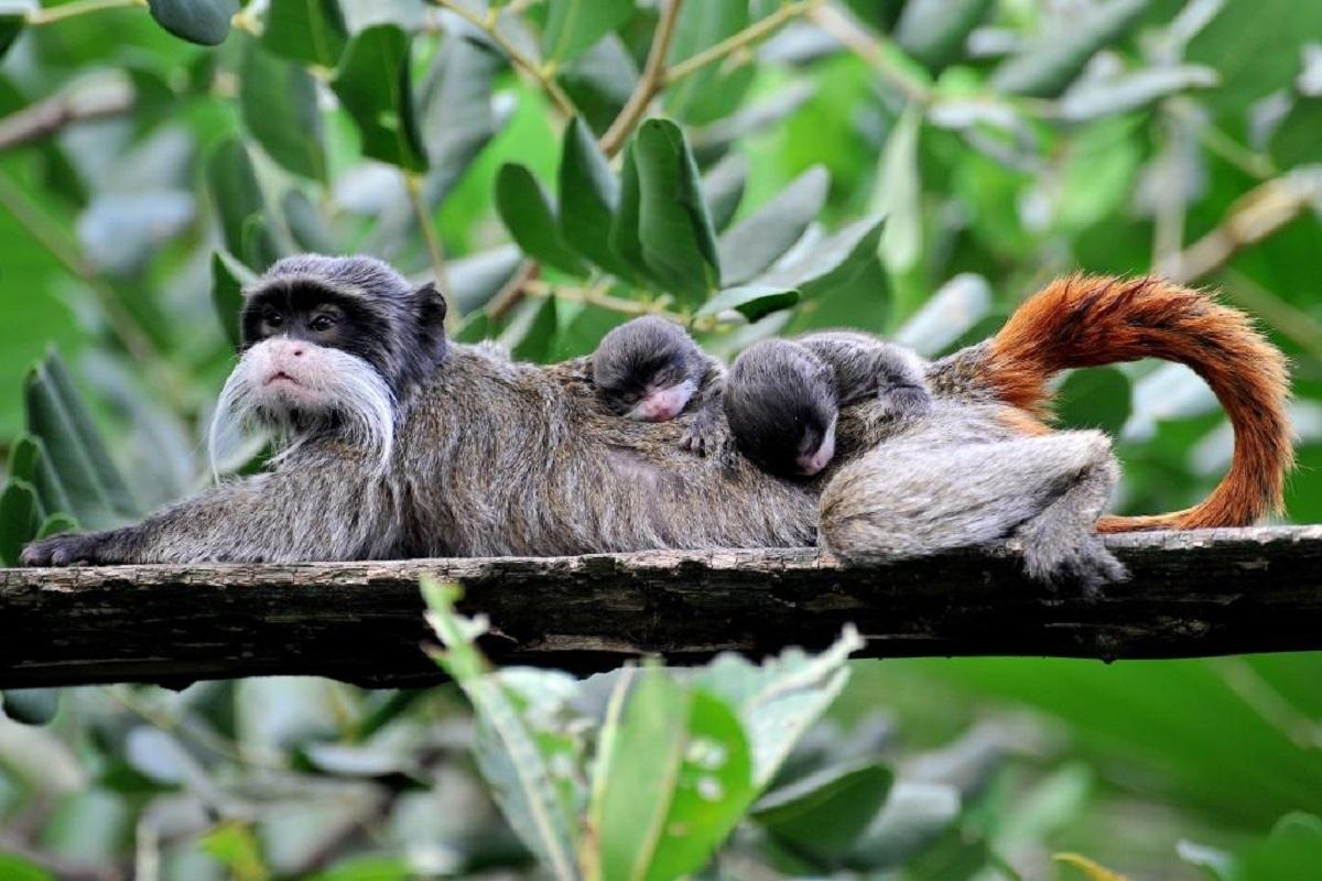 Al Bioparco nati due gemelli di tamarino imperatore